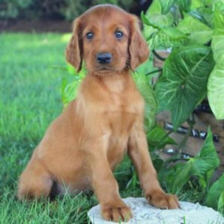 Gorgeous Pure Bred Irish Setter Puppies , Family Raised With Love Animals