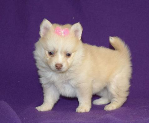 - POMSKY PUPPY FOR SALE IN  Animals