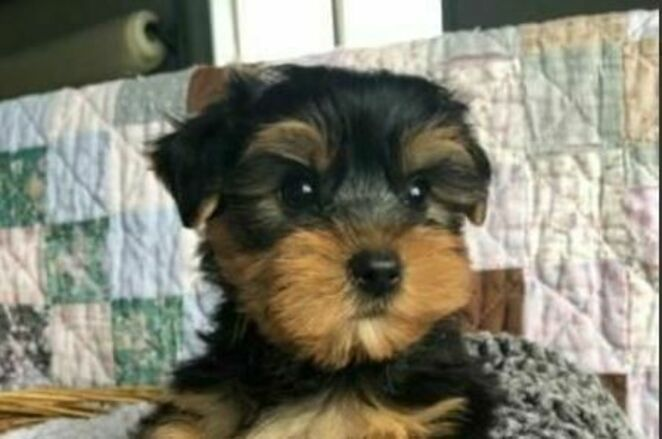 3 Month Old Yorkshire Terrier Puppies