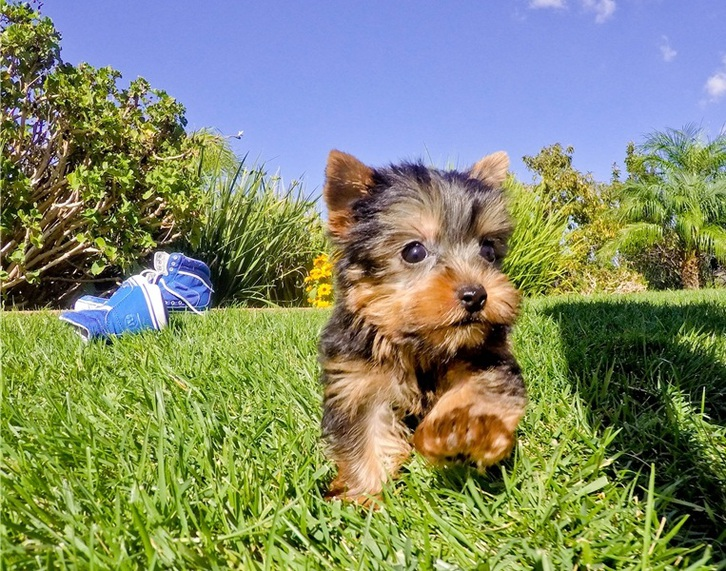 Adorable Male And Female YORKIE PUPPIES Animals