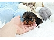 Adorable Male and Female Teacup YorKie Pups Available.(412) 423-6957 Animals 2