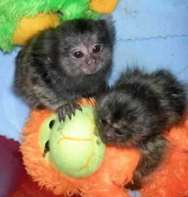 Adorable male and female baby capuchin/marmoset monkeys foryour valitine gift (430) 808-2841 Animals