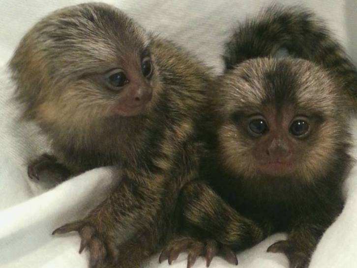 Amazing home train Marmoset Monkeys for adoption  Animals