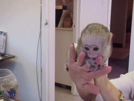 Baby Capuchin Monkeys available  Animals