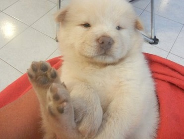 Beautiful Kc Registered Chow Chow Pups.  Animals