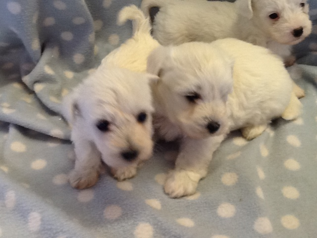 CAPTIVATING, LOW SHEDDING MALTESE X WESTIE PUPPIES Animals 2