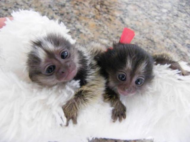 Diaper Trained Babies Primates Marmoset monkeys  Animals