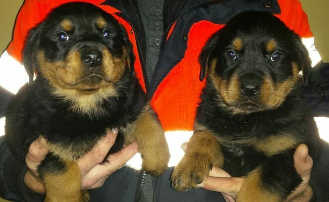 Excellent Beautiful Male And Female Rottweiler puppies for sale  Animals 2
