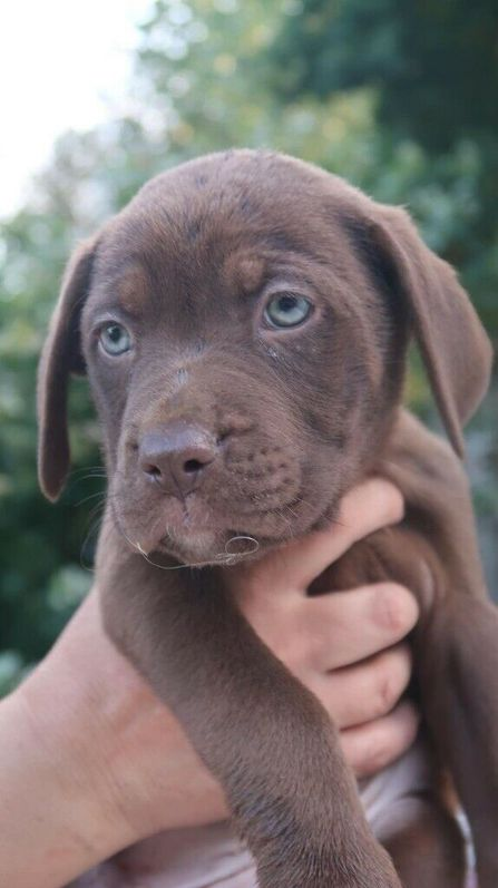 French Mastiff and Presa Canario Rottweiler Puppies for Sale (READY TO LEAVE) Animals