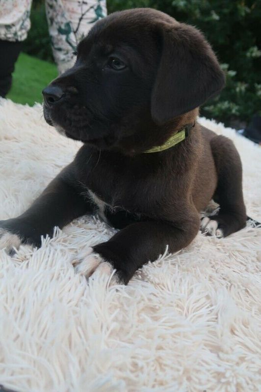 French Mastiff and Presa Canario Rottweiler Puppies for Sale (READY TO LEAVE) Animals 2