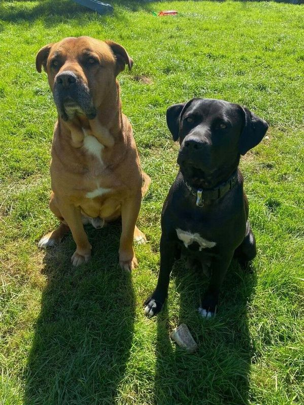 French Mastiff and Presa Canario Rottweiler Puppies for Sale (READY TO LEAVE) Animals 4