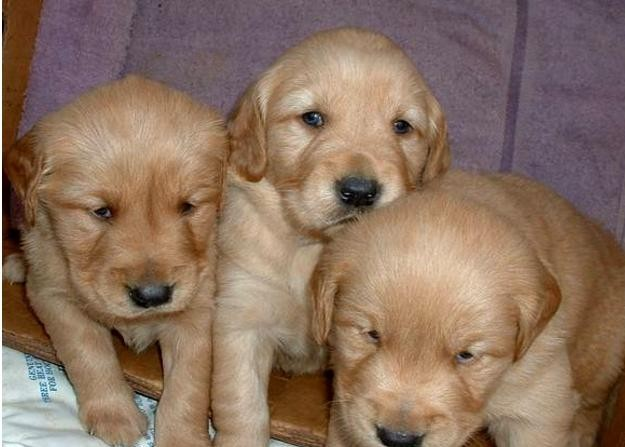 HOME TRAINED KC REG. GOLDEN RETRIVER PUPPIES READY. Animals