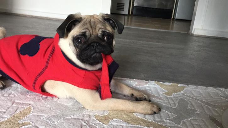 **Kc Pug Puppy For sale Animals