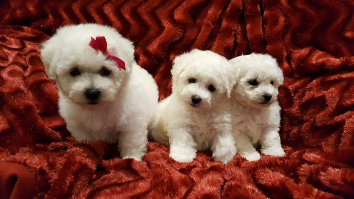 Kennel Club Reg. Tiny Show Quality Maltese Puppies  Animals