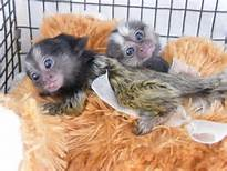 Lovely Angelic Baby Capuchin and finger Monkey for your valitine(lover)(430) 808-2841   Animals 2