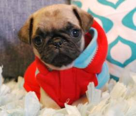 !!!Male and Female Pug  ready to  go!!! Animals