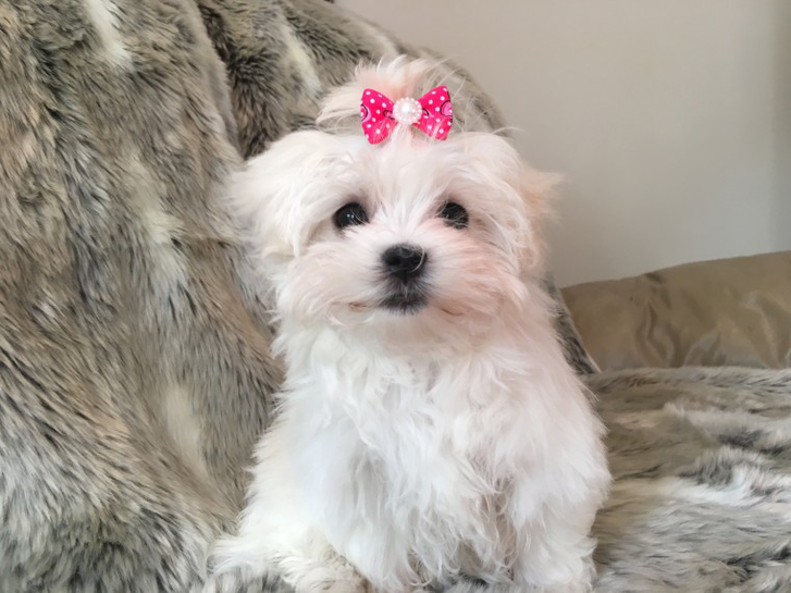 Outstanding Tiny Kc Registered Maltese Puppies  Animals 2