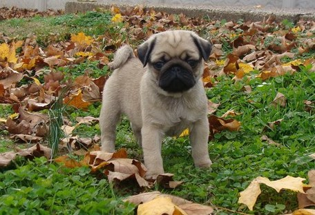Ready Now! Gorgeous Fawn Female Pedigree Pug Puppies  Animals