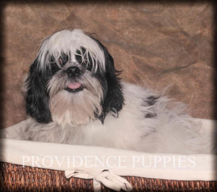 Shih Tzu puppies   ready now!!!!!!!!!!! Animals