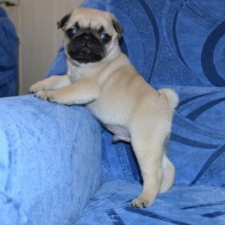 Super adorable Pug Puppies  Animals
