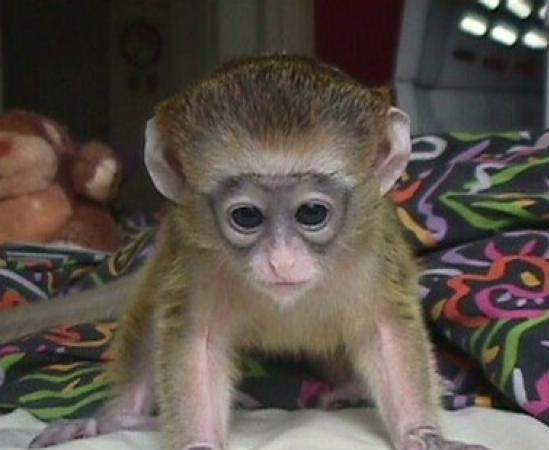 Well Tamed Capuchin monkeys for adoption. Animals