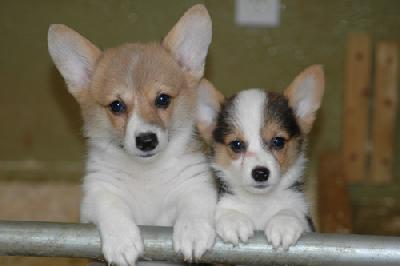 Welsh Corgi (pembroke) Puppies For you Animals
