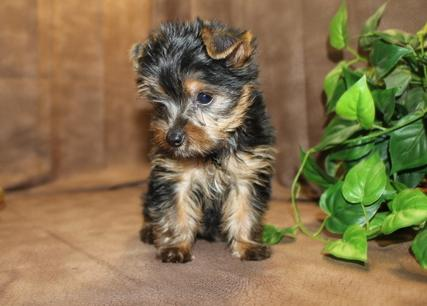 Yorkshire Terrier Puppies Animals