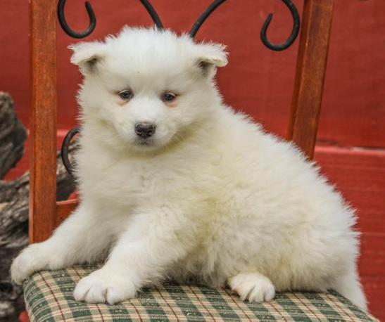 adorable Samoyed puppies  Animals