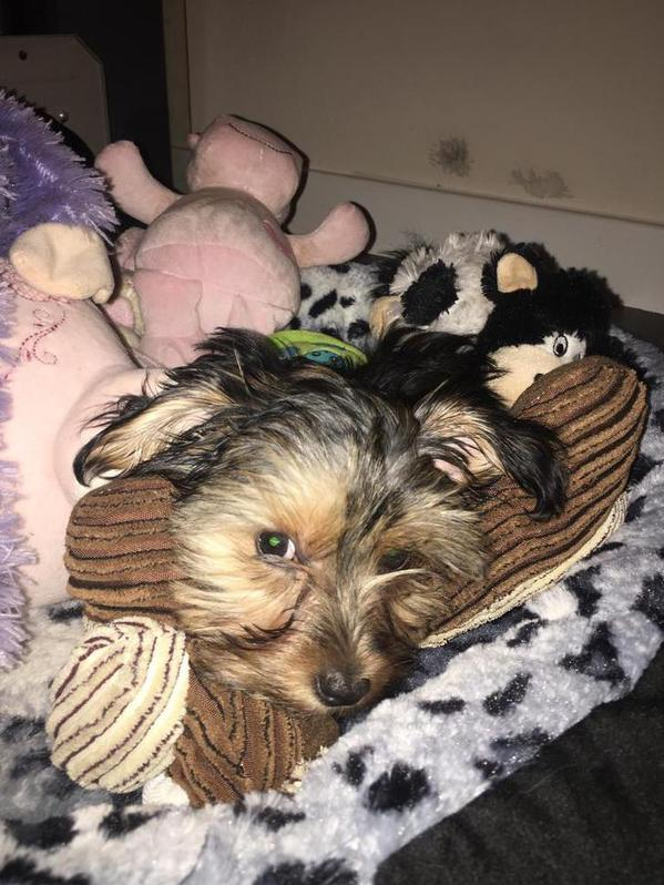 10 week old Yorky Yorkshire terrier Animals