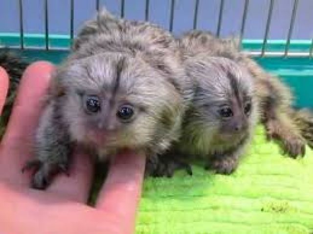 14 Weeks old Finger Baby Marmoset Monkeys available Animals