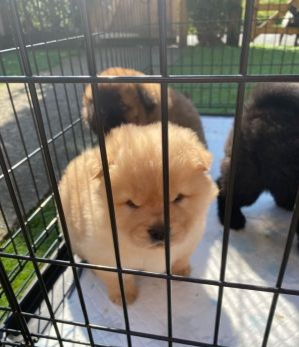 4Lovely Little Wise Chow Chow Puppies Engaging for New Home Animals