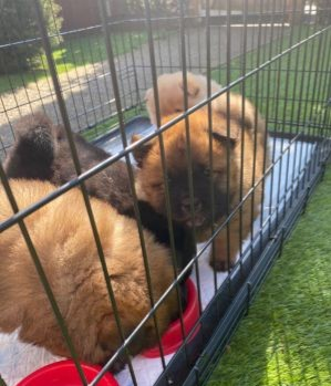 4Lovely Little Wise Chow Chow Puppies Engaging for New Home Animals 2