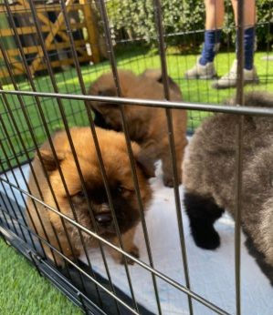 4Lovely Little Wise Chow Chow Puppies Engaging for New Home Animals 3