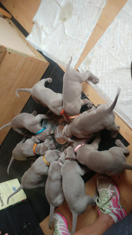 7 week old gorgeous Wiemaraner puppies Animals 3
