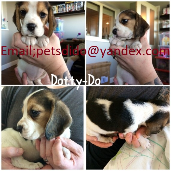 9 Week Old Kc Reg Beagle Bitches Ready To Leave Animals
