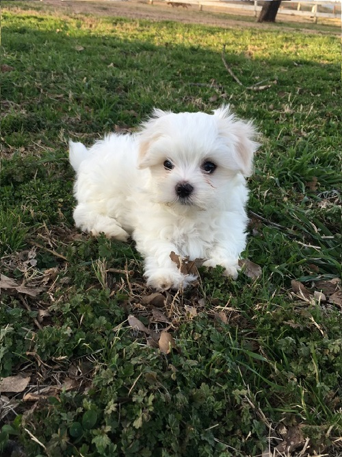 A PERFECT MALTESE PUPPY Animals