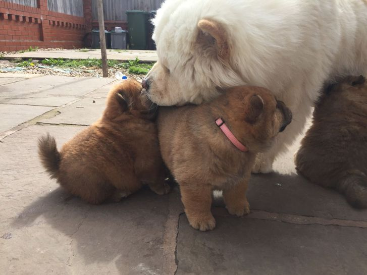 AKc Reg Red Chubby Chow Pups 10 Weeks Of Age. Animals