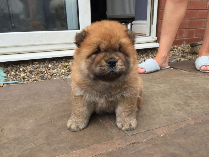 AKc Reg Red Chubby Chow Pups 10 Weeks Of Age. Animals 2