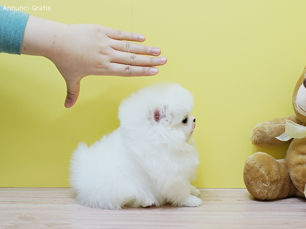 Adorable Pomeranian Puppies Available Animals