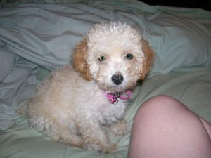 Adorable Poodle Puppies Available Animals 2