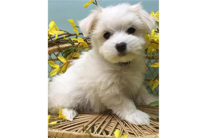 Adorable fluffy little Maltese dog cross puppy small Bitch non moulting Animals