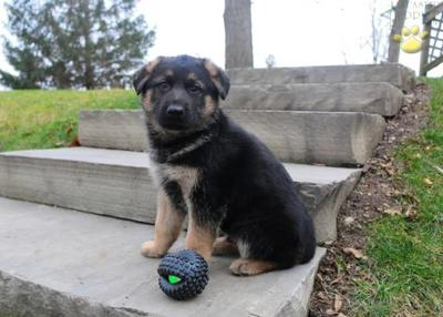 Adorable, fun, loving German Shepherd Pups