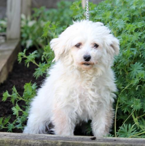 Adorable male and female Maltese pups Animals