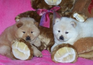 Affectionate Chow Chow Puppies for rehoming Animals