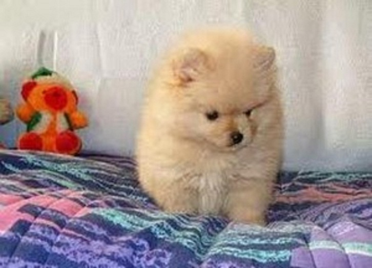 Affectionate Chow Chow Puppies for rehoming Animals 3
