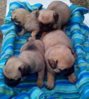 Affectionate male and female pug puppies available for adoption Other