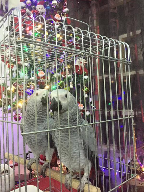 African Grey Birds For Sale  Animals 3