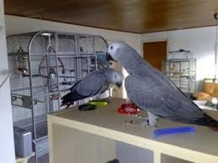 African Grey Parrots for Adoption Animals 3