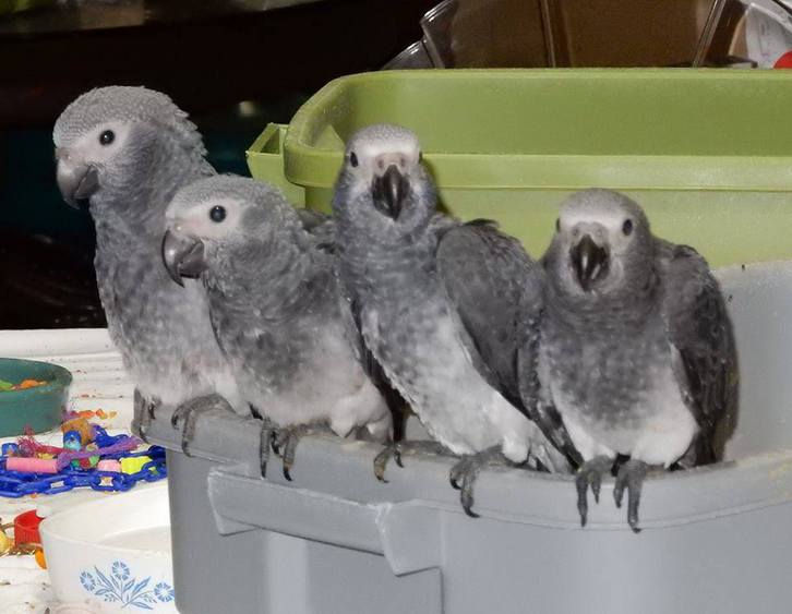 African Grey Parrots for sale  Animals