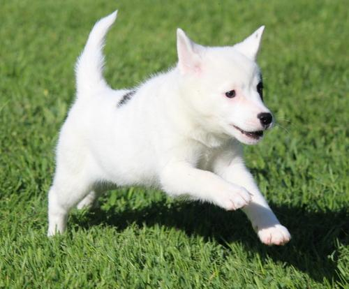 Alaskan Klee Kai pupies available for sale now Animals